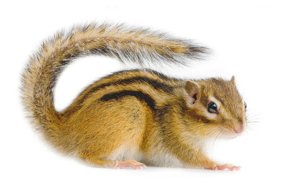how the chipmunk got its stripes oneida indian nation