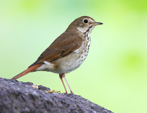 The Legend of the Hermit Thrush