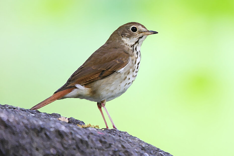 oneida-indian-nation-legends-lore-hermit-thrush